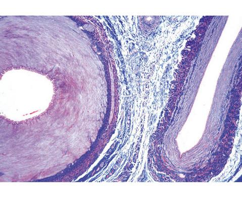 Arterie und Vene quer - Praeparate und Foliensaetze-2