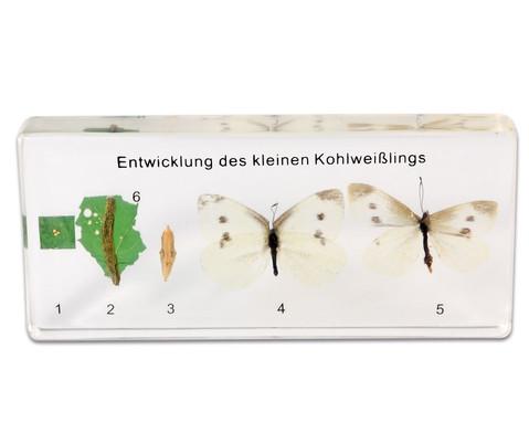 Betzold Lebenszyklus des Schmetterlings