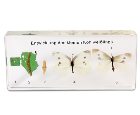Lebenszyklus des Schmetterlings-1