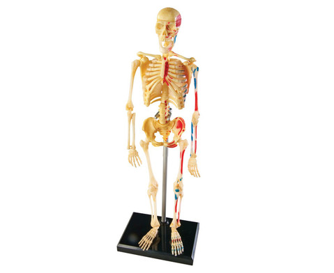 Skelett-Puzzle