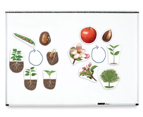 Grosse Pflanzenzyklen magnetisches Tafelmaterial