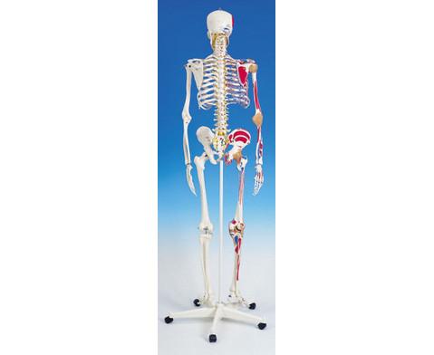 Universal-Skelett A13 fuer Schulen-2