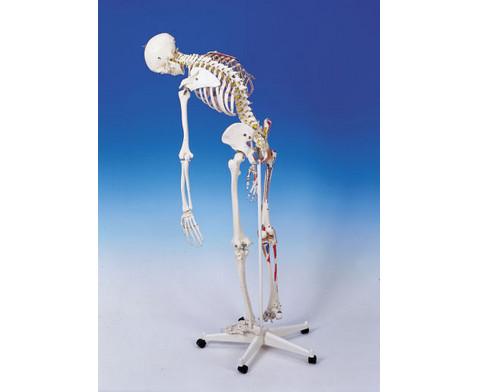 Universal-Skelett A13 fuer Schulen-3