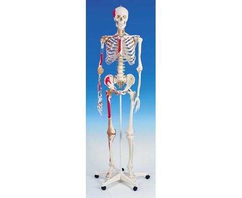 Universal-Skelett A13 fuer Schulen-4