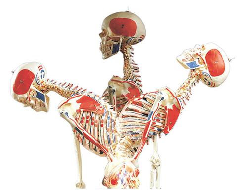 Universal-Skelett A13 fuer Schulen
