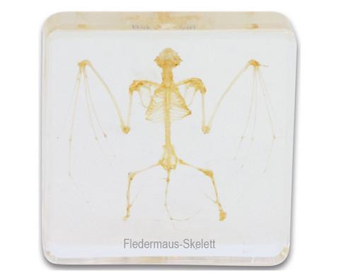 Fledermausskelett Hypsugo pulveratus