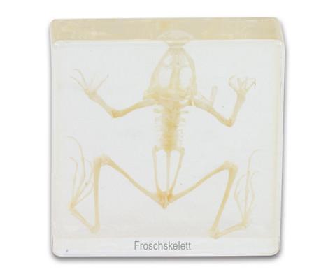 Froschskelett-1