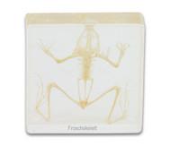 Froschskelett (Rana catesbeiana)