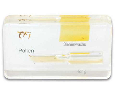 Lebenszyklus Honigbiene-4