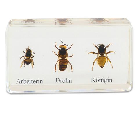 Lebenszyklus Honigbiene-6