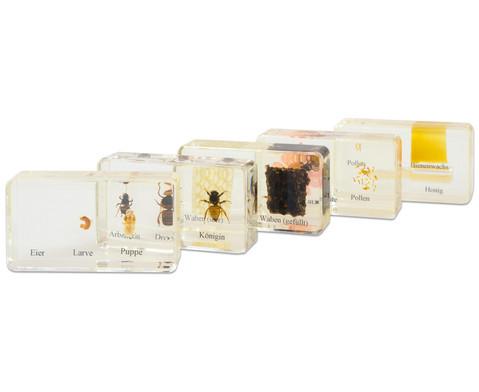 Lebenszyklus Honigbiene-7