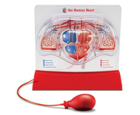 Herz-Kreislauf-Modell-1
