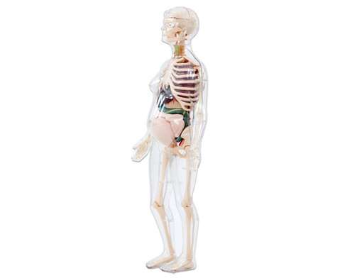 Schwangere Frau Anatomiemodell
