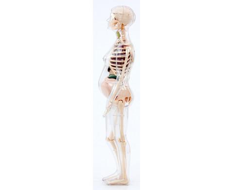 Schwangere Frau Anatomiemodell-3
