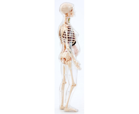 Schwangere Frau Anatomiemodell-4