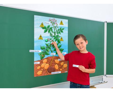 Die Kartoffelpflanze-2