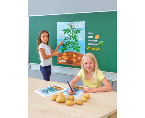 Die Kartoffelpflanze-4