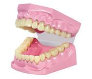 Kau- und Zahnmodell