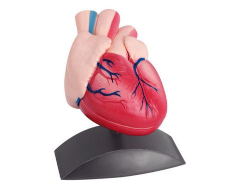 Kleines Herzmodell-3