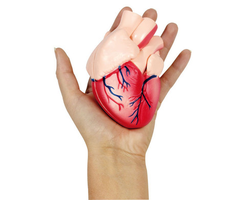 Kleines Herzmodell