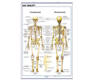 Lehrtafel: Menschlicher Körper