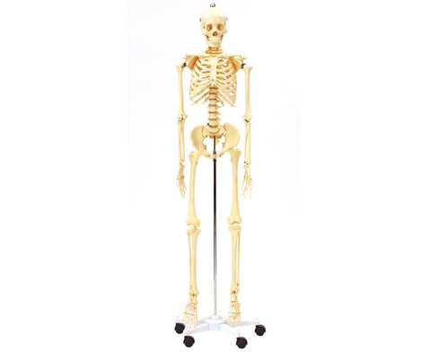 Menschliches Skelett-1