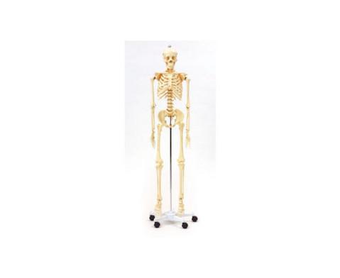 Menschliches Skelett in Lebensgroesse-2