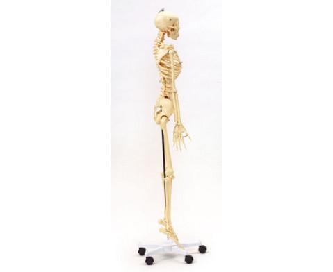 Menschliches Skelett in Lebensgroesse-3