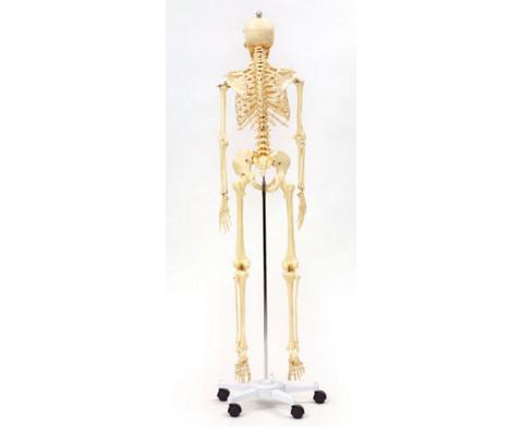 Menschliches Skelett in Lebensgroesse-4