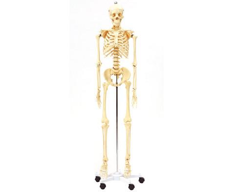 Menschliches Skelett in Lebensgroesse-1