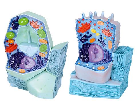 Modell-Set tierische und pflanzliche Zelle