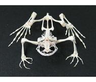 Skelett Frosch mit Glashaube