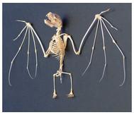 Skelett Fledermaus mit Glashaube