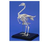 Skelett Haushuhn
