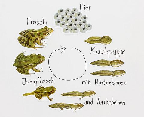 Lebenszyklus Frosch magnetisch-1