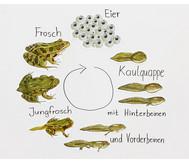 Lebenszyklus Frosch, magnetisch