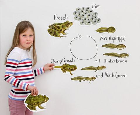 Lebenszyklus Frosch magnetisch-9