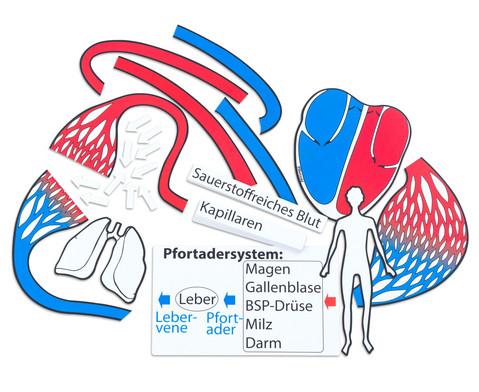 Betzold Blutkreislauf magnetisches Tafelmaterial