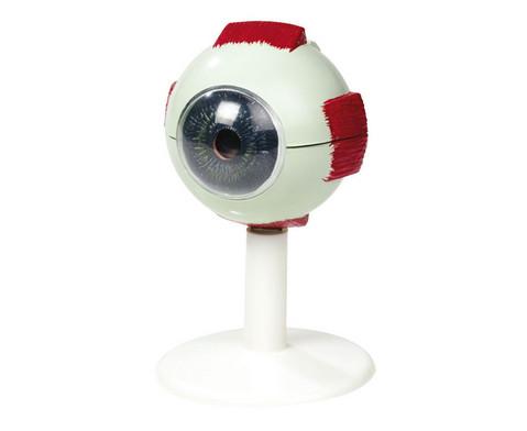 Kleines Augenmodell-1