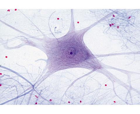 Nervenzellen Rueckenm quer - Praeparate und Foliensaetze