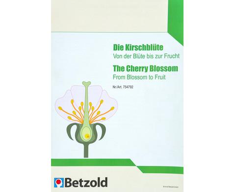 Die Kirschbluete - Von der Bluete bis zur Frucht-6