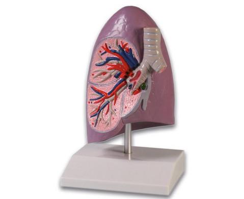 Menschliche Lungenhaelfte-1
