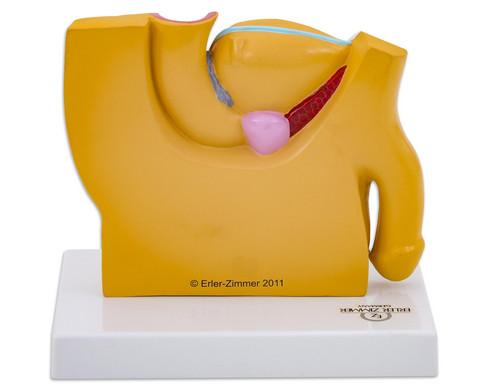 Maennlicher Beckenschnitt-2