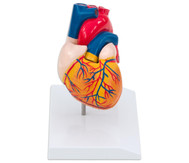 Menschliches Herzmodell