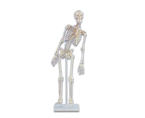 Miniaturskelett mit Muskelmarkierungen-1