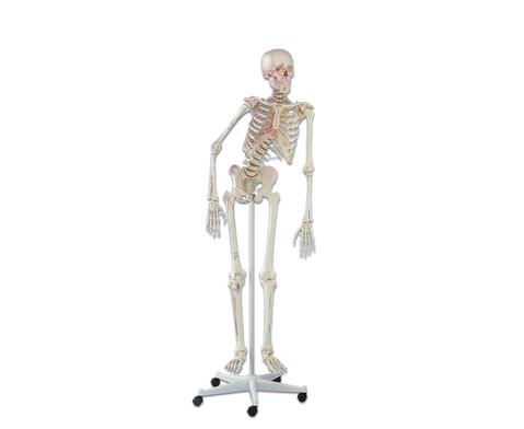 Skelett mit Muskelmarkierungen
