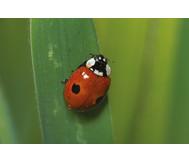 Marienkäfer züchten
