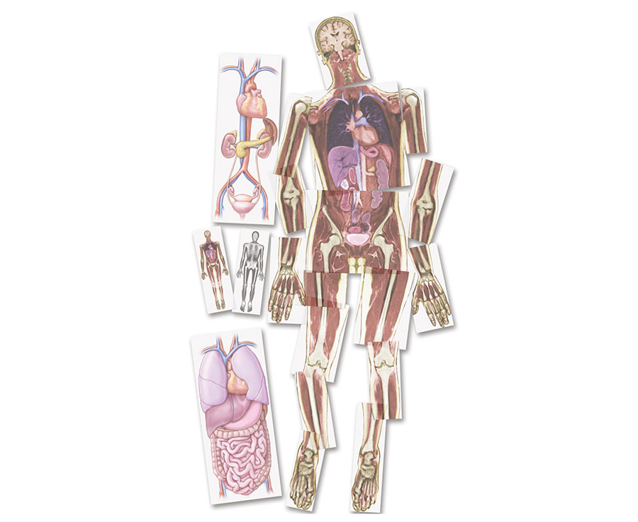 Kernspin-Bilder Mensch, Lebensgroße Nilder, Skelett, Muskeln, Organe ...
