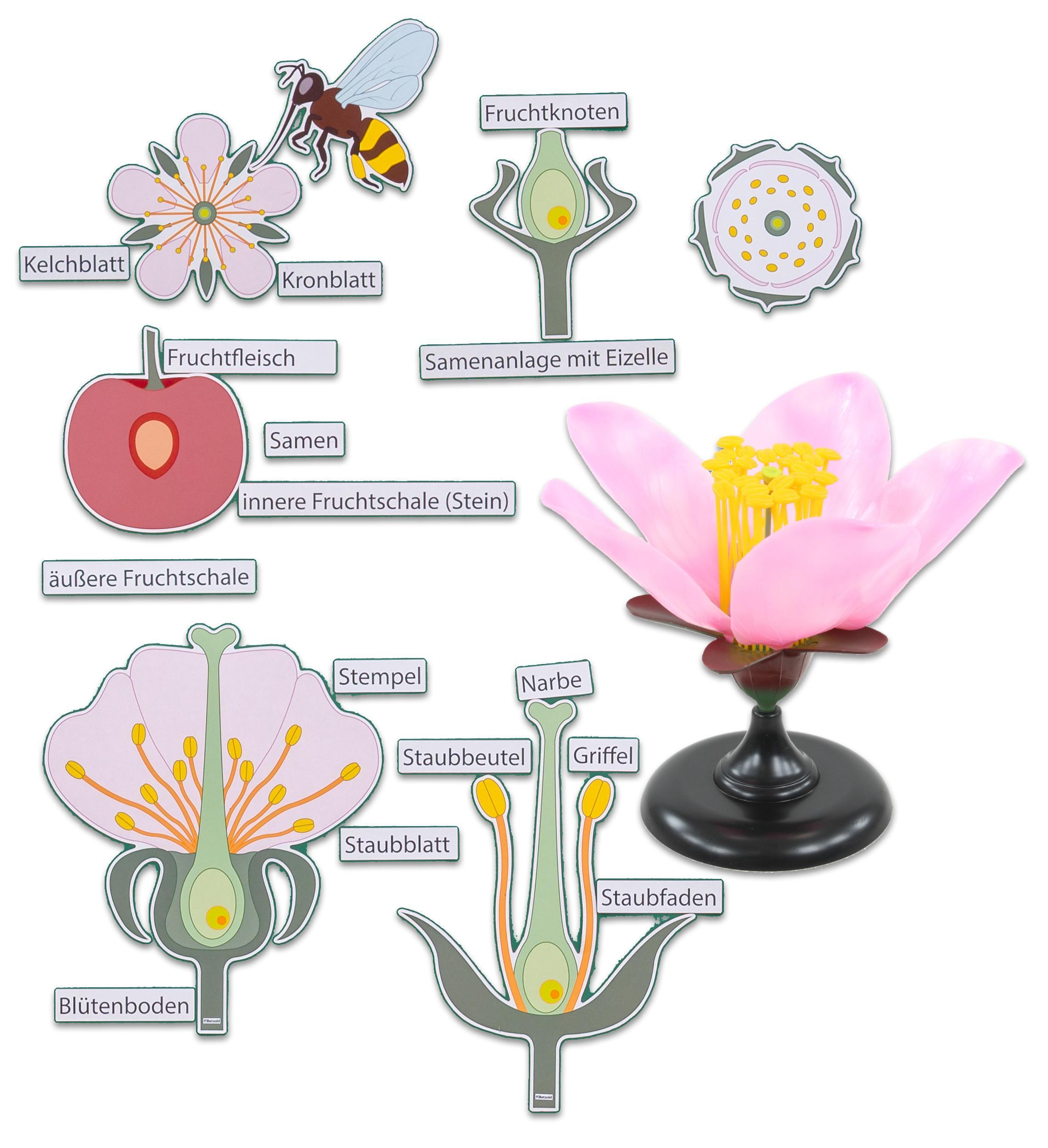 Betzold Betzold Betzold - Set Die Kirschblüte - Demonstations-Modell Blüten-Modell Bio-Logie 0e8f77