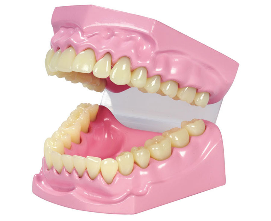 Kaumodell, Zahnmodell - Zahnputztechnik lernen